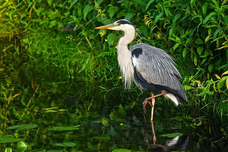 Grey heron aspects