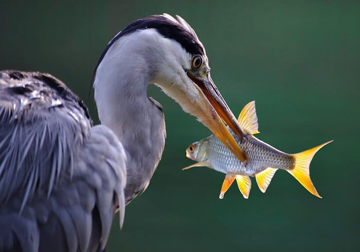 Grey heron diet