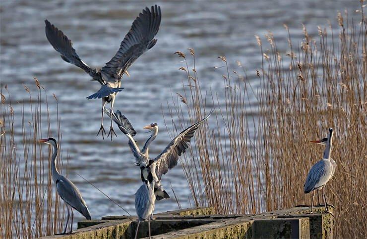 Grey heron distribution