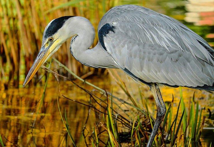 Grey heron habitat