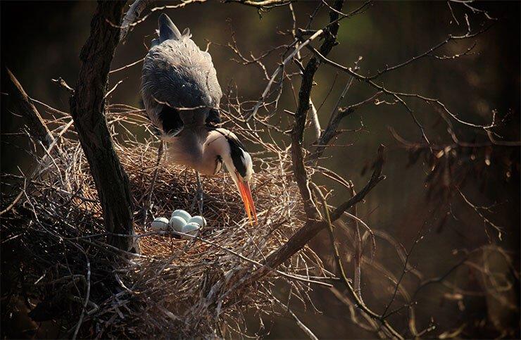Grey heron nest