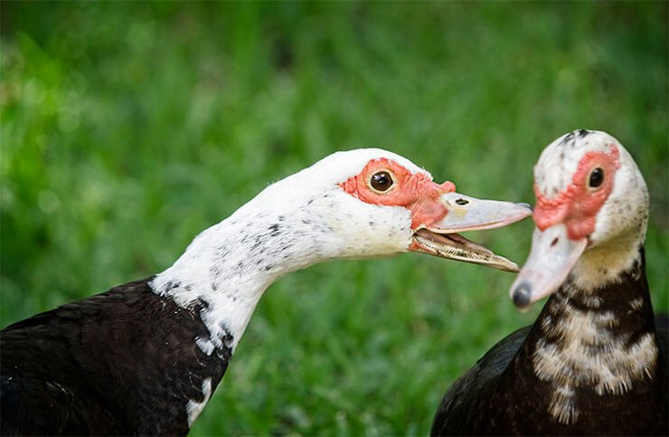 Muscovy duck distribution