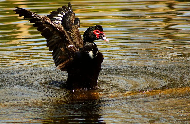 Muscovy duck feathering