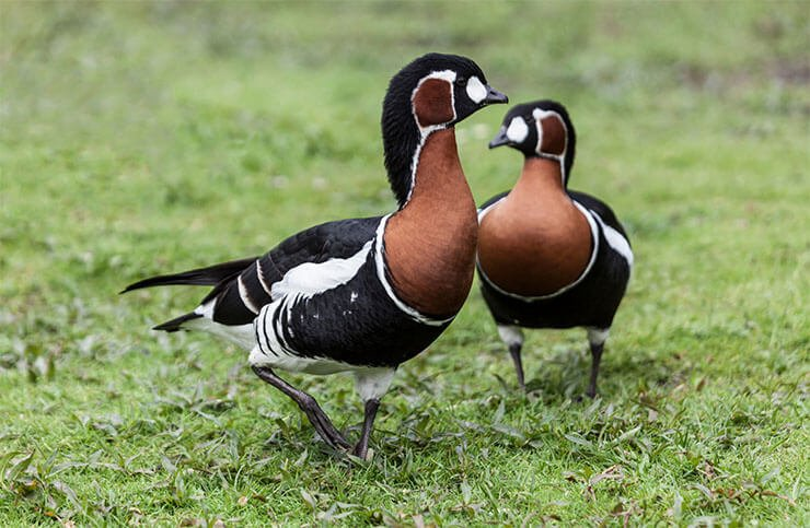 Red-breasted goose pair