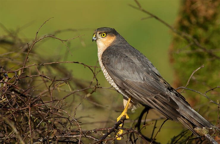 Sparrowhawk on the branch