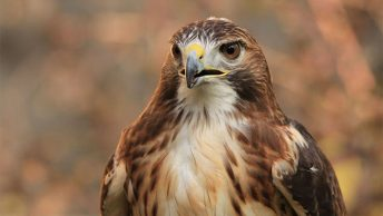 The hawks of Ohio
