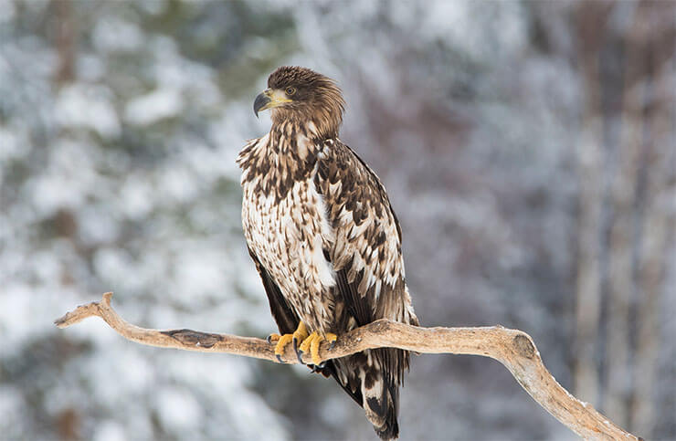 White-tailed eagle conservation
