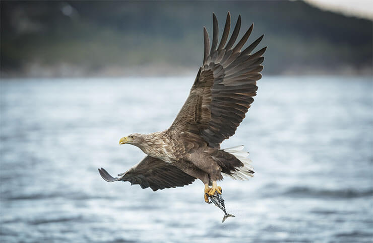 White-tailed eagle diet
