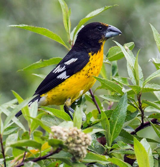 Black-Backed Grosbeak male