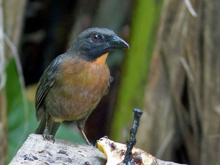 Black-Cheeked Ant-Tanager female