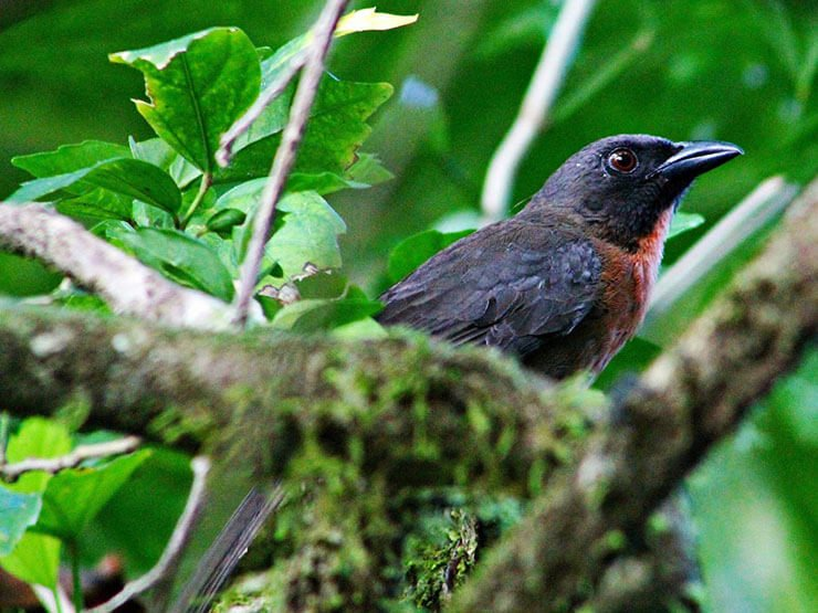 Black-Cheeked Ant-Tanager male