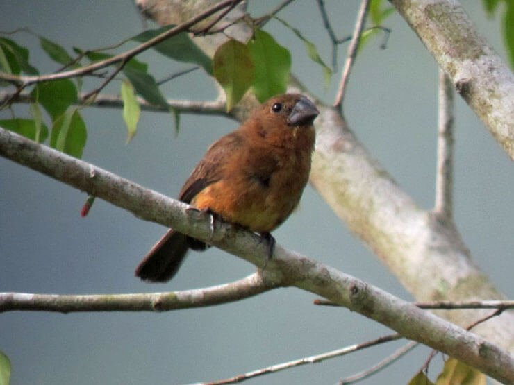 Blue-Black Grosbeak female