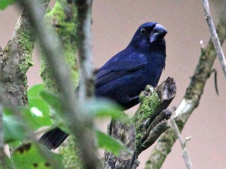 Blue-Black Grosbeak male