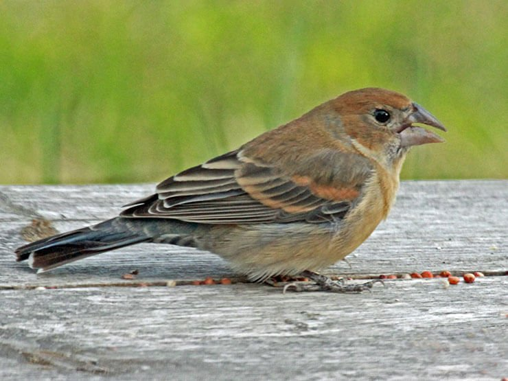 Blue Grosbeak female