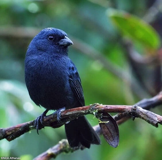 Blue Seedeater male
