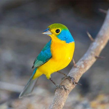 Cardinalidae bird index - cardinals and allies