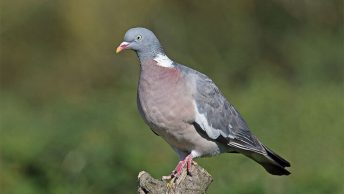 Common woodpigeon