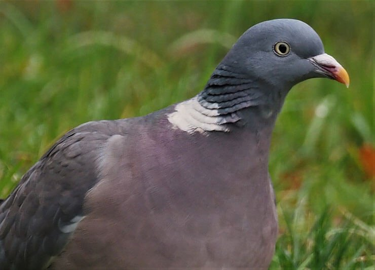 Common woodpigeon adult