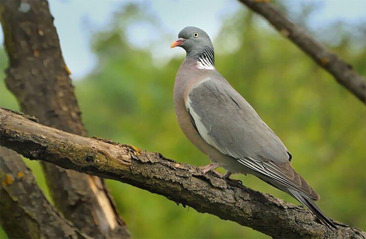 Common woodpigeon distribution