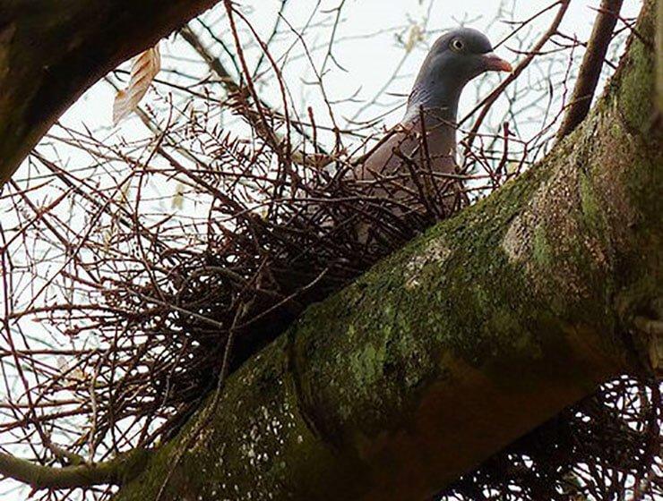 Common woodpigeon nest