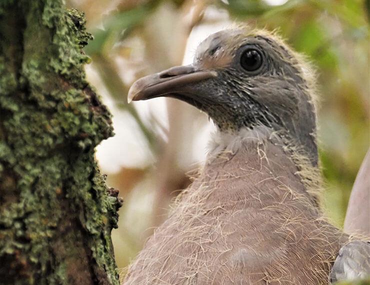 Common woodpigeon squab