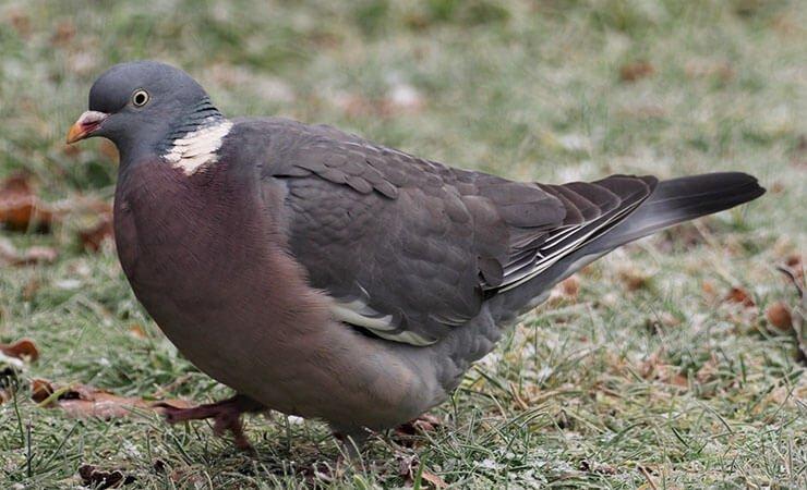 Common woodpigeon walks