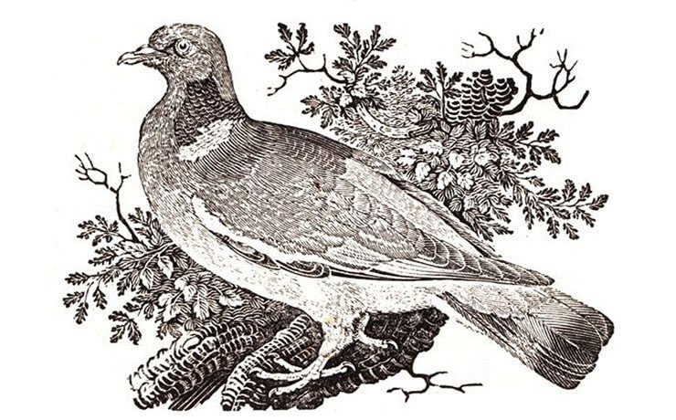 Drawing common woodpigeon