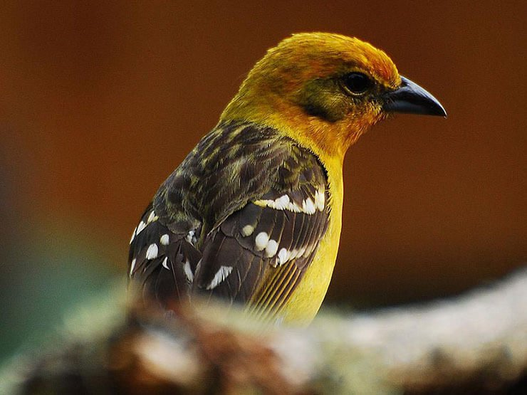 Flame-Colored Tanager female