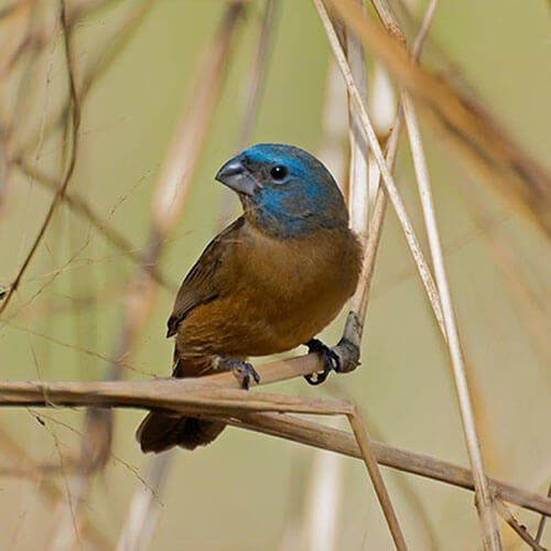 Glaucous-Blue Grosbeak female
