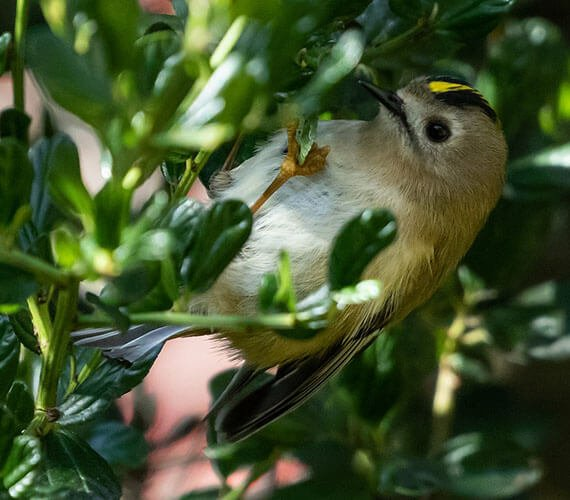 Goldcrest aspects