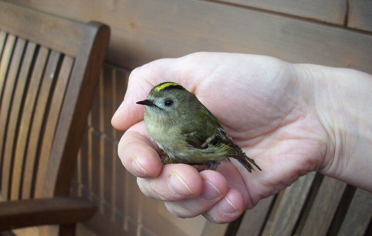Goldcrest conservation