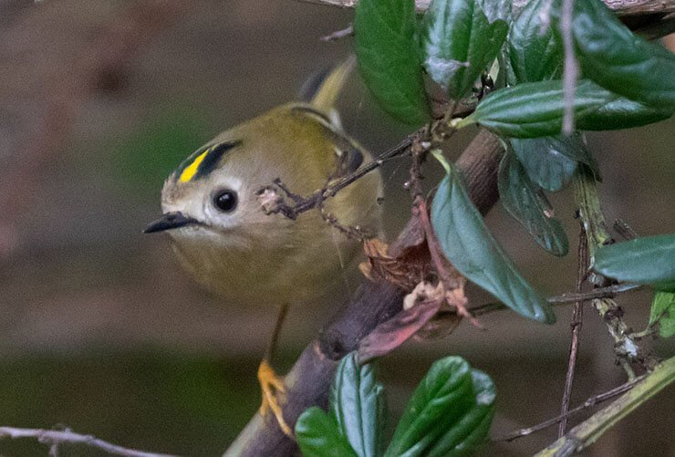 Goldcrest diet