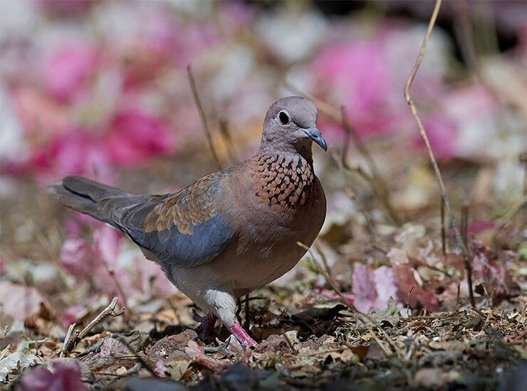 Laughing dove aspects