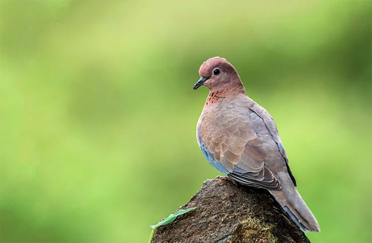 Laughing dove conservation