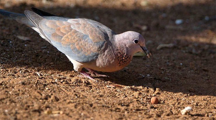 Laughing dove diet