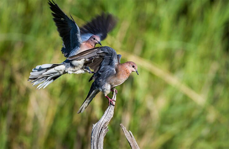 Laughing dove distribution