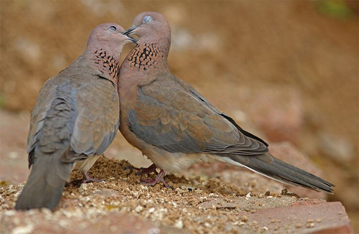 Laughing dove kissing