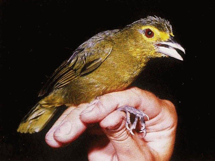 Lemon-Spectacled Tanager female