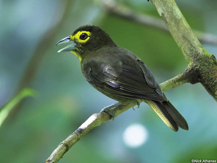 Lemon-Spectacled Tanager male