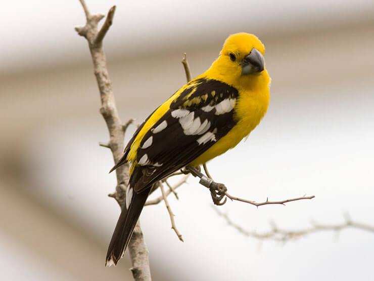 Mexican Yellow Grosbeak male