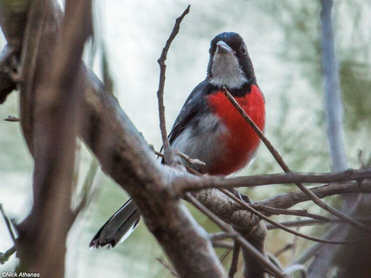 Red-Breasted Chat male