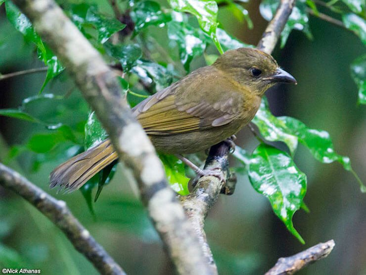 Red-Crowned Ant-Tanager female