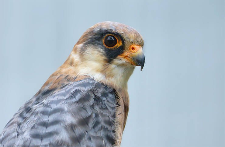 Red-footed falcon closeup