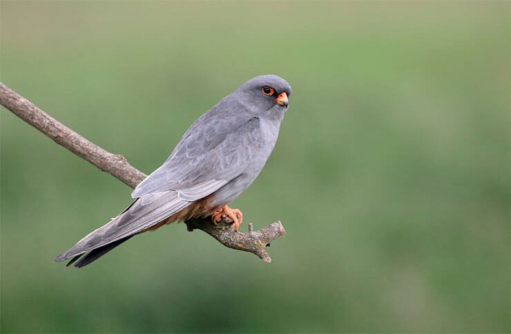 Red-footed falcon conservation