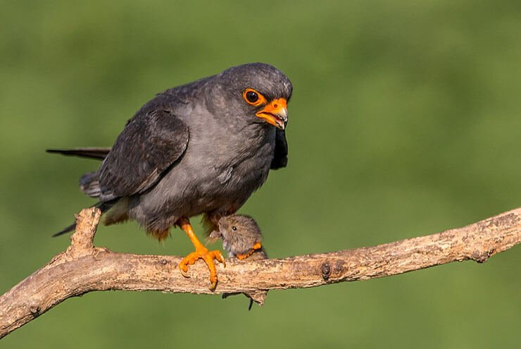 Red-footed falcon diet