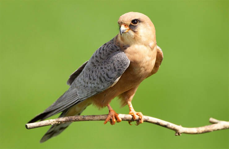 Red-footed falcon female