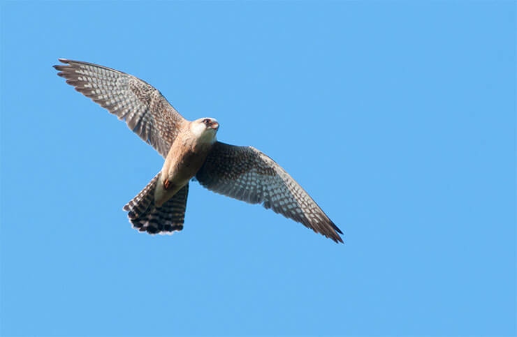 Red-footed falcon flight