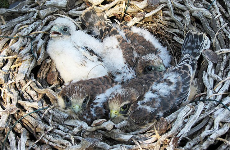 Red-footed falcon nest
