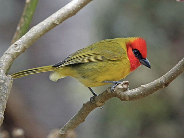 Red-Headed Tanager male