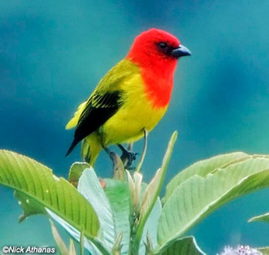 Red-Hooded Tanager male